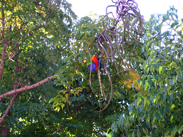 Another lorikeet